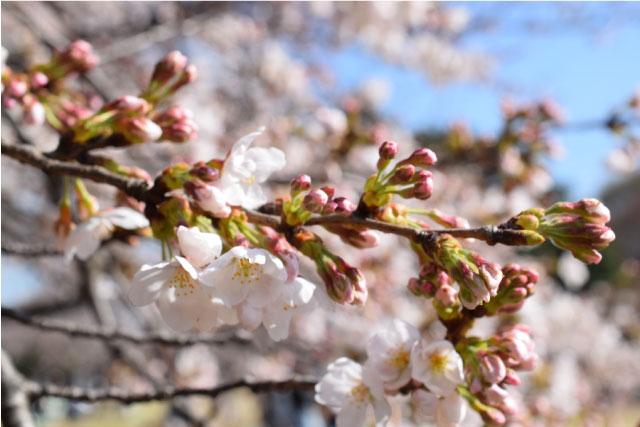 新宿御苑桜写真2