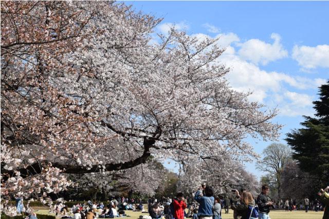 新宿御苑桜写真3